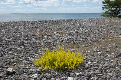 Galium verum, Gulmåra, Rubiaceae, Måreväxter