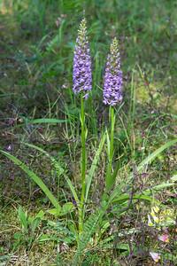 Gymnadenia conopsea ssp. densiflora, Praktsporre, Orchidaceae, Orkideer