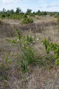Anthericum ramosum, Liten sandlilja, Asparagaceae, Sparrisväxter