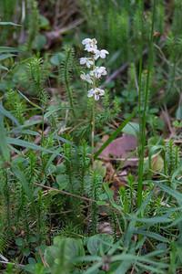Pyrola rotundifolia, Vitpyrola, Ericaceae, Ljungväxter
