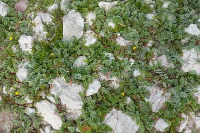 Argentina anserina, Gåsört, Rosaceae, Rosväxter