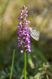 Gymnadenia conopsea ssp. densiflora, Praktsporre, Orchidaceae, Orkideer; Plebejus optilete, Violett blåvinge