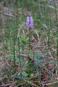 Pyrola minor, Klotpyrola, Ericaceae, Ljungväxter, Dactylorhiza maculata ssp. fuchsii, Skogsnycklar, Orchidaceae, Orkideer