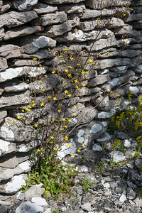 Lactuca muralis, Skogssallat, Asteraceae, Korgblommiga