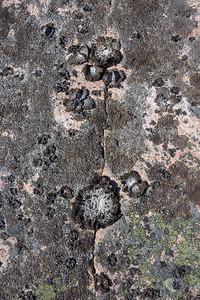 Lasallia pustilata, Tuschlav, Umbilicariaceae
