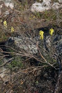Linaria vulgaris, Gulsporre, Plantaginaceae, Grobladsväxter