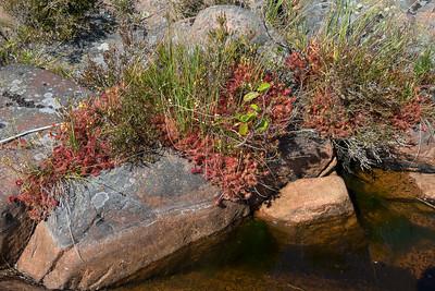 Drosera rotundifolia, Rundsileshår, Droseraceae, Sileshårsväxter, Djurö nationalpark