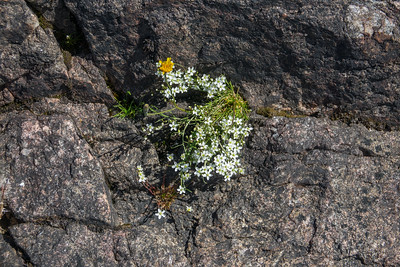 Sagina nodosa, Sydknutnarv, Caryophyllaceae, Nejlikväxter, Djurö nationalpark