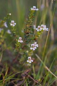 Euphrasia stricta var. brevipila , Vanlig ögontröst, Orobanchaceae, Snyltrotsväxter