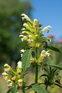 Galeopsis speciosa , Hampdån, Lamiaceae, Kransblommiga