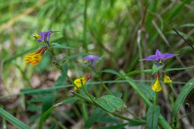 Melampyrum nemorosum, Natt och dag, Orobanchaceae, Snyltrotsväxter