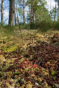 Drosera rotundifolia, Rundsileshår, Droseraceae, Sileshårsväxter