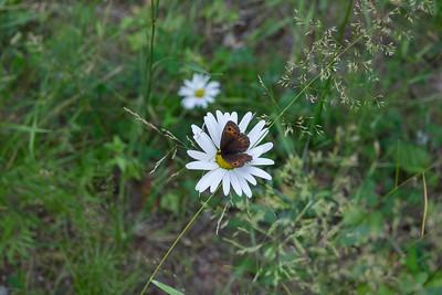 Erebia ligea, Skogsgräsfjäril
