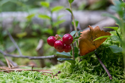 Vaccinium vitis-idaea, Lngon, Ericaceae, Ljungväxter