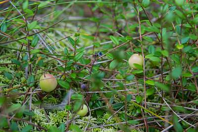Vaccinium oxycoccos, Tranbär, Ericaceae, Ljungväxter