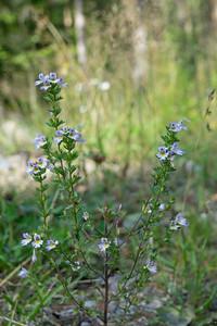Euphrasia stricta var. brevipila, Vanlig ögontröst, Orobanchaceae, Snyltrotsväxter