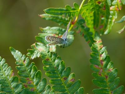 Polyommatus icarus, Puktörneblåvinge