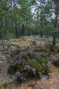 Calluna vulgaris, Ljung, Ericaceae, Ljungväxter