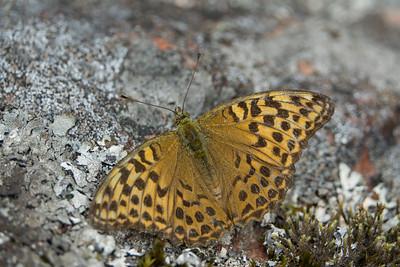 Argynnis paphia, Silversträckad pärlemorfjäril (hona)
