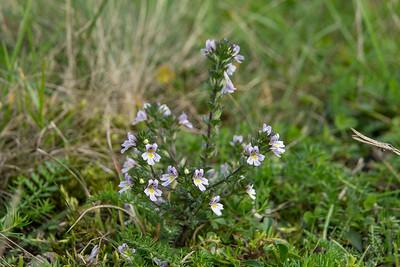 Euphrasia stricta, Lila ögontröst, Orobanchaceae, Snyltrotsväxter