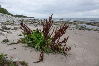 Rumex longifolius, Gårdsskräppa Polygonaceae, Slideväxter