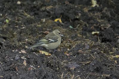 Fringilla coelebs, Bofink, Common Chaffinch