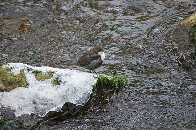 Cinclus cinclus, Strömstare, White-throated Dipper