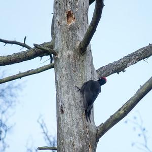 Dryocopus martius, Spillkråka, Black Woodpecker