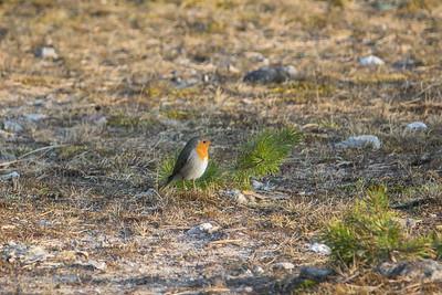 Erithacus rubecula, Rödhake, European Robin