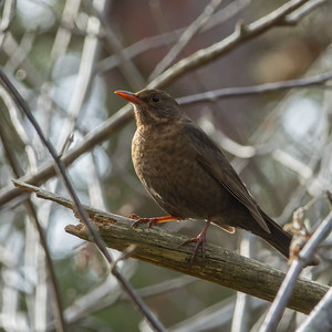 Turdus merula, Koltrast, Common Blackbird