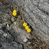 Tussilago, hästhov, Tussilago farfara, Asteraceae, Korgblommiga