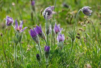 Pulsatilla vulgaris, Backsippa, Ranunculaceae, Ranunkelväxter