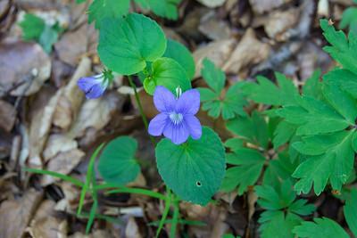 Viola riviniana, Skogsviol , Violaceae, Violväxter