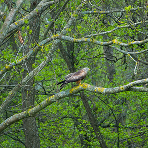 Milvus milvus, Glada, Red Kite