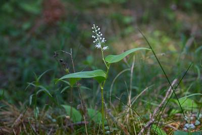 Maianthemum bifolium, Ekorrbär, Asparagaceae, Sparrisväxter