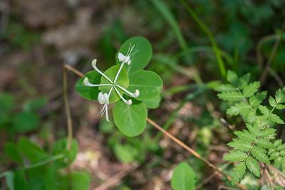 Lonicera caprifolium, Äkta kaprifol, Caprifoliaceae, Kaprifolväxter