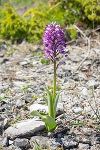 Orchis militaris, Johannesnycklar, Orchidaceae, Orkideer