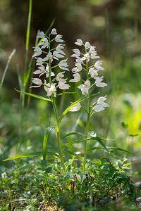 Cephalanthera longifolia, Vit skogslilja, Orchidaceae, Orkideer