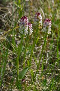 Neotinea ustulata, Krutbrännare, Orchidaceae, Orkideer
