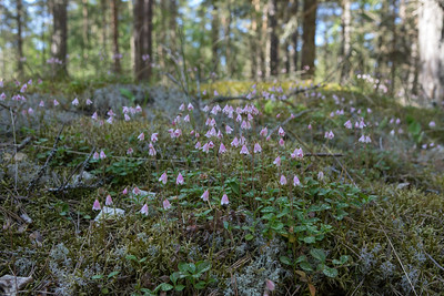 Linnaea borealis, Lnnea, Caprifoliaceae, Kaprifolväxter