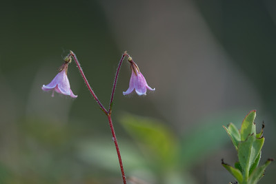 Linnaea borealis, Linnea, Caprifoliaceae, Kaprifolväxter