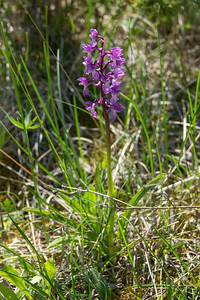 Orchis mascula, Sankt Pers nycklar, Orchidaceae, Orkideer