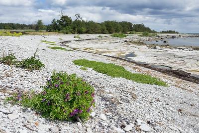 Lathyrus japonicus ssp. maritimus , Vanlig strandvial, Fabaceae, Ärtväxter