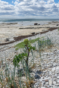 Angelica archangelica ssp. littoralis, Strandkvanne , Apiaceae, Flockblomstriga