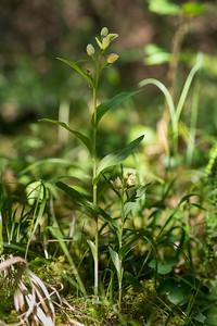 Cephalanthera damasonium, Stor skogslilja, Orchidaceae, Orkideer