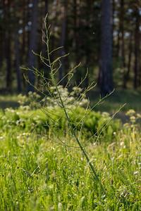 Asparagus officinalis, Sparris, Asparagaceae, Sparrisväxter