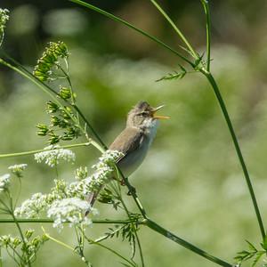 Acrocephalus palustris, Kärrsångare, Marsh Warbler