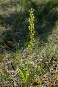 Neottia ovata, Tvåblad, Orchidaceae, Orkideer