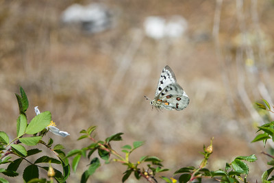 Parnassius apollo, Apollofjäril, Papilionidae, Riddarfjärilar