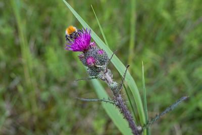 Cirsium palustre, Kärrtistel, Asteraceae, Korgblommiga
